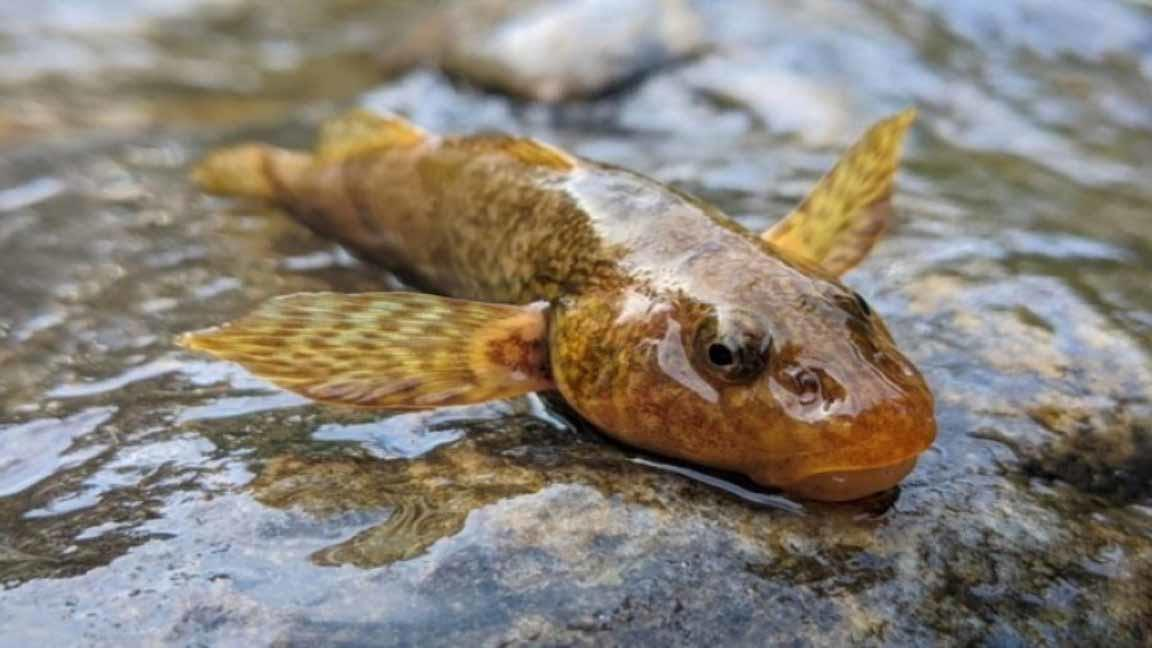 Cómo es el pez que vivió con los dinosaurios y que solo hay 15 ejemplares en tod