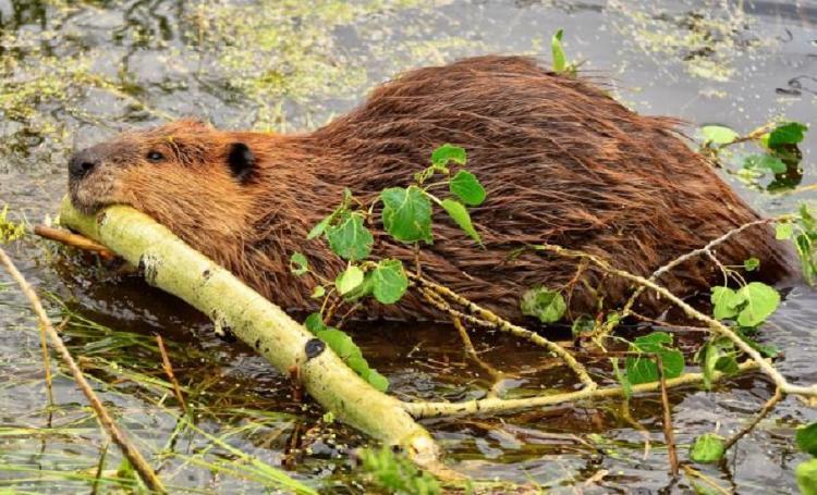 castor canadiense con una rama nadando