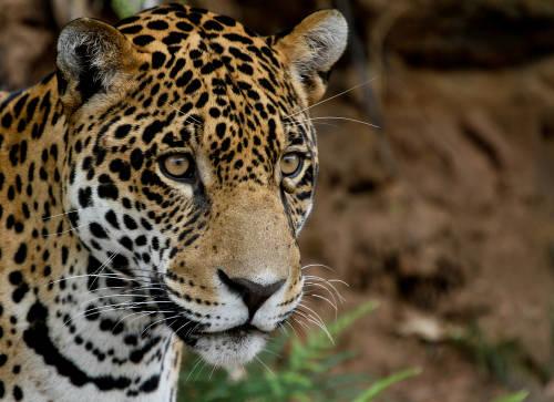 Fundación Vida Silvestre y WWF lanzan plan regional de protección del yaguareté en Latinoamérica