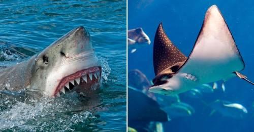 Las rayas y tiburones van a desaparecer si no frenamos una actividad que creí..