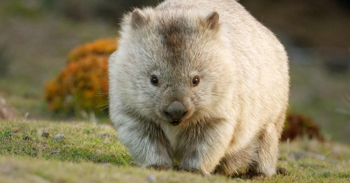Este es el único animal del mundo que tiene heces con forma de cubo y los científicos descubren por qué