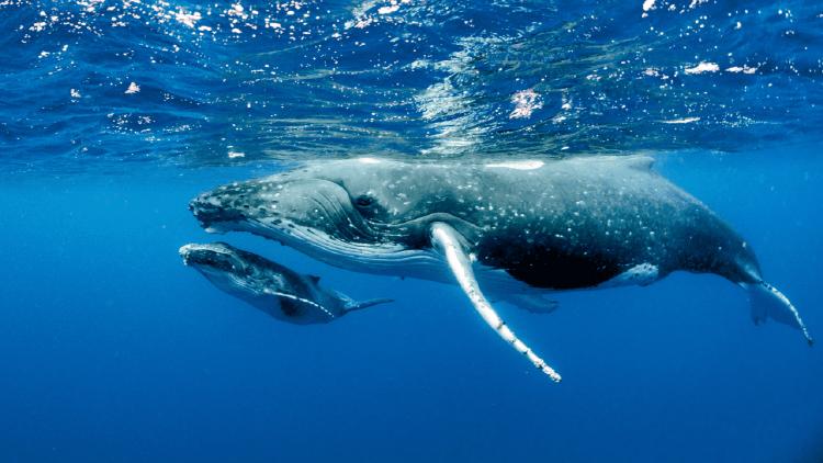 ballenas-francas