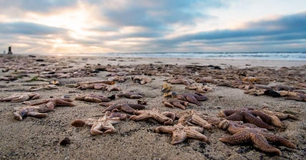 Miles de estrellas de mar aparecieron muertas misteriosamente en una playa. ¿..