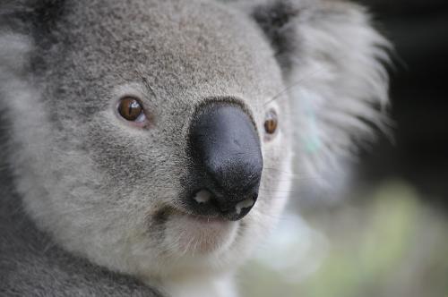 Una familia descubrió un adorable koala en su árbol de Navidad