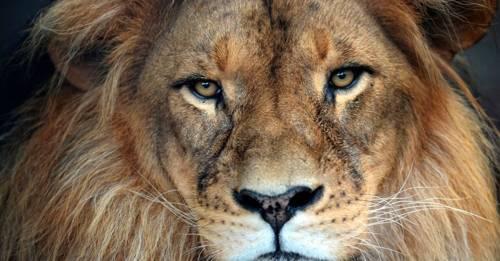 Indignante: un zoo de Bangladesh sigue exhibiendo a un león esquelético a pu..