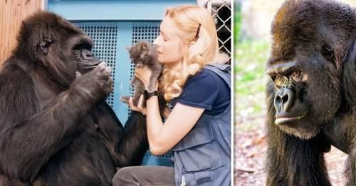 Adiós a Koko, la gorila que hablaba: esta es su historia de vida