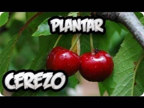 Como plantar un cerezo en el jardin