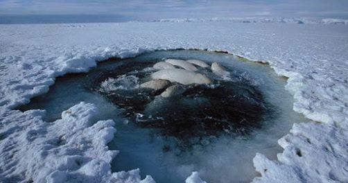 Carrera contrarreloj: 20 ballenas ballenas quedaron atrapadas en un agujero en e