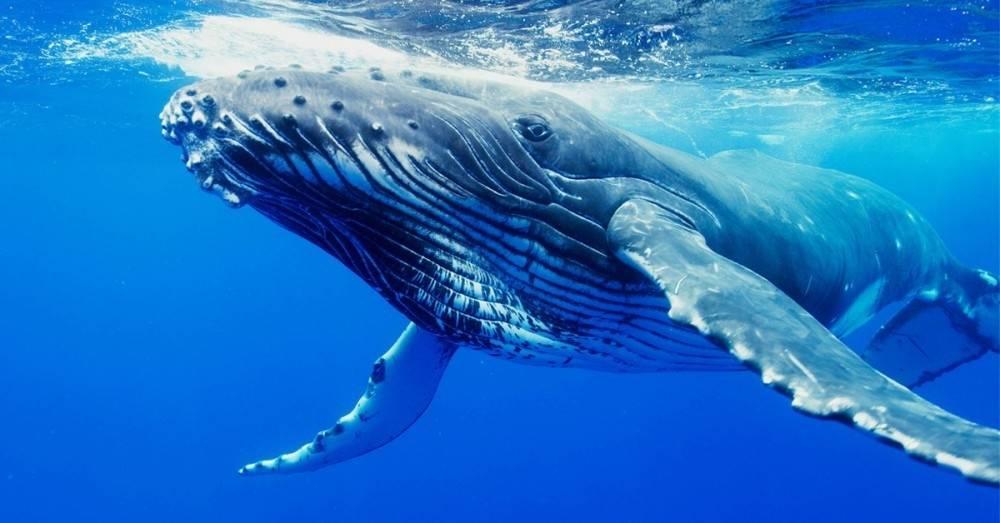 Una buena noticia: las ballenas jorobadas están comenzando a reinar el océan..