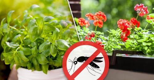 10 plantas que mantendrán más alejados a los insectos que un repelente