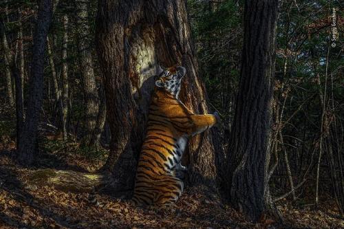 La sorprendente fotografía de una tigresa abrazando a un árbol