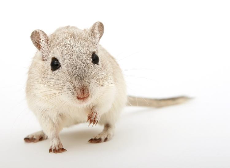 009 ratones