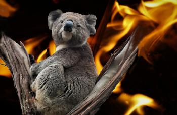 Koalas, una especie amenazada por incendios forestales