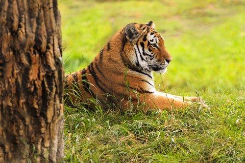 El hábitat del tigre de Bengala podría desaparecer por el cambio climático