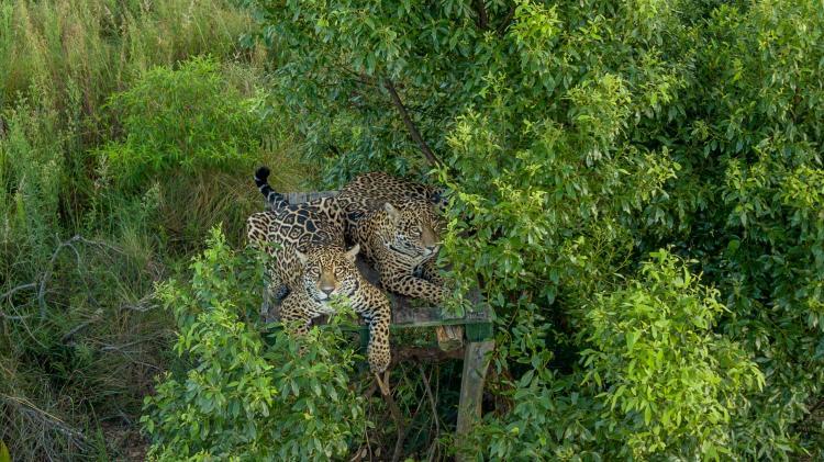 Arami_y_Mbarete_en_el_Centro_de_Reintroduccio?n_de_Yaguarete?_del_Parque_Ibera?_-_©_Rewilding_Argentina-min