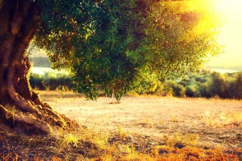 Este árbol de olivo tiene más de 3,000 años y todavía dando frutos