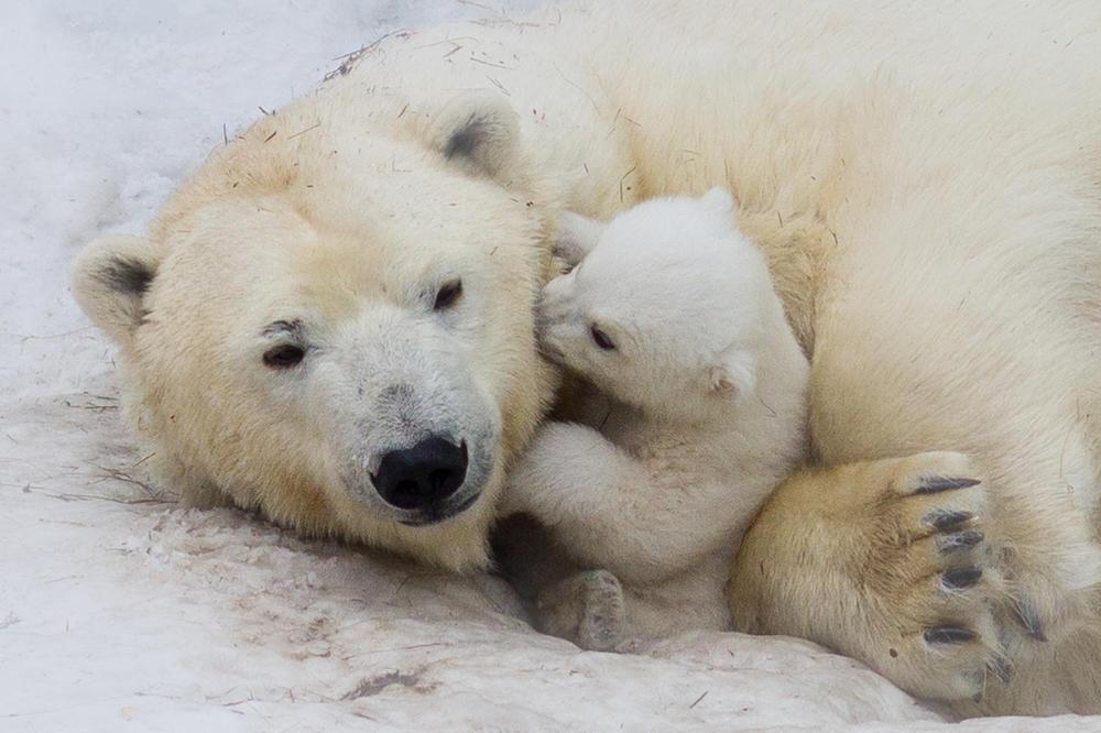 Casi todos los osos polares podrían extinguirse para 2100