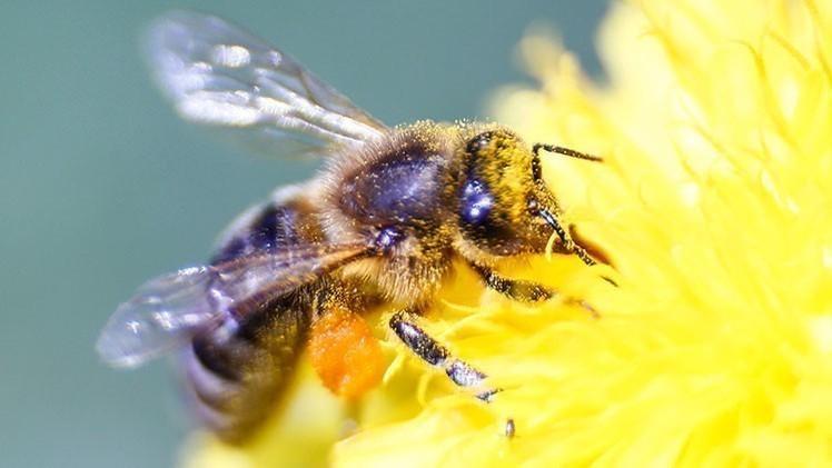 Las abejas están encargadas de 'fecundar' las flores para que luego den frutos y semillas