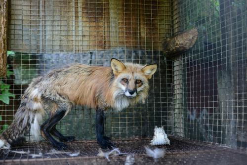 Prohibición de granjas peleteras en Polonia podría salvar millones de animales