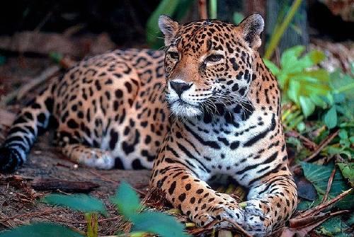 jaguar-1377982_640