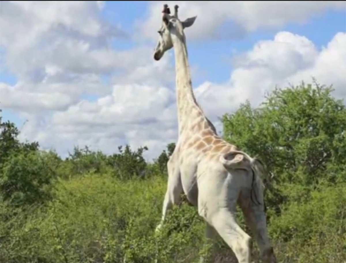 La última jirafa blanca del mundo será vigilada con GPS para protegerla de los c