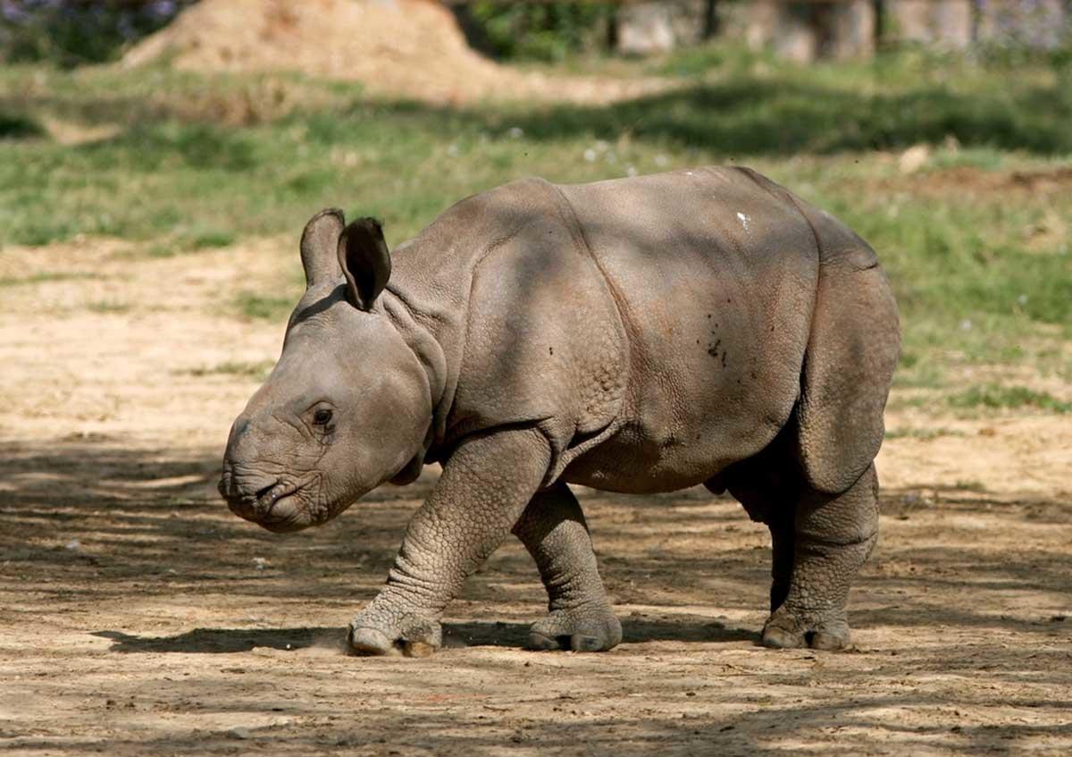 Reino Unido celebra el nacimiento del primer rinoceronte indio en 47 años