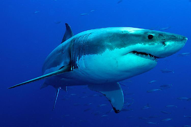 Reino Unido prohíbe la comercialización de aletas de tiburón