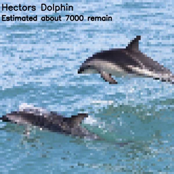 7 - hector\'s dolphin 7 000