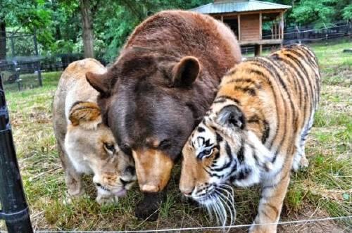 Un oso, un tigre y un león que son mejores amigos