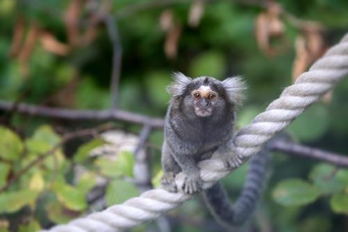 Los monos titíes escuchan conversaciones ajenas y no les gustan los seres antisociales