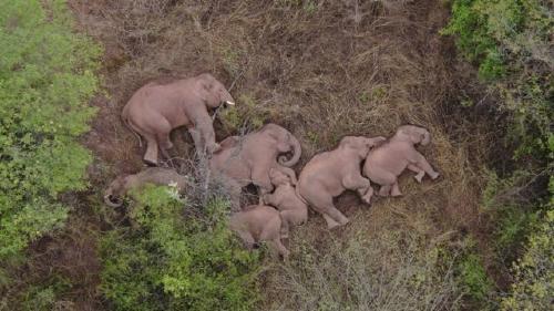 VIDEO: Una manada de elefantes duerme la siesta tras recorrer 500 kilómetros por
