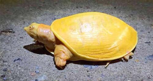 Hallan una extraña 'tortuga amarilla' en la India