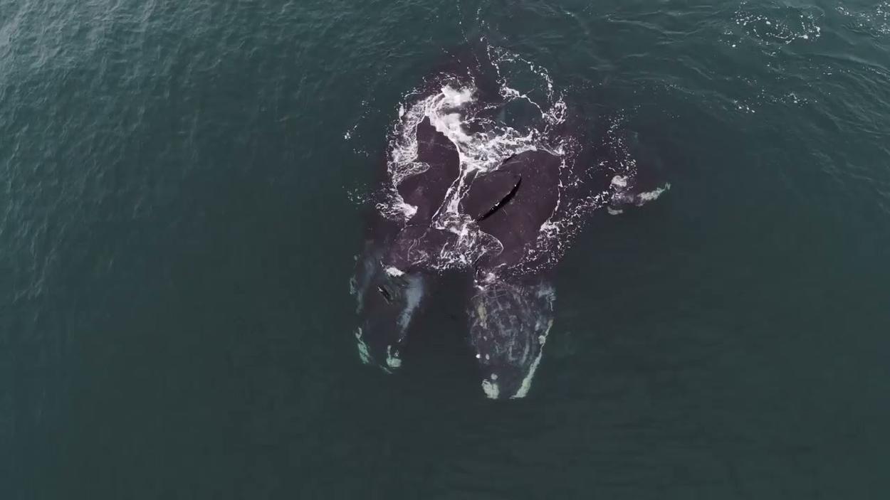 Fotógrafo capturó el momento en el que dos ballenas francas se abrazan