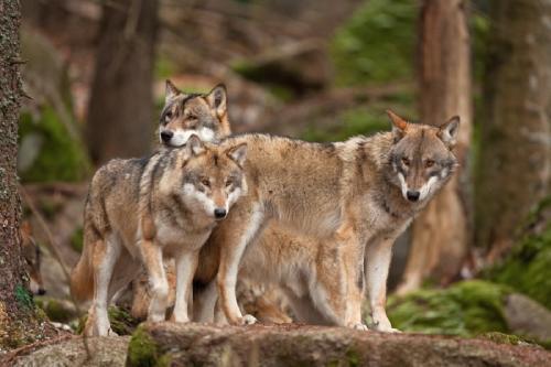 España prohibirá la caza de lobos en todo el país antes de fines de septiembre 2