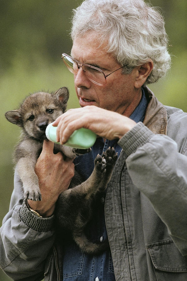 jim-dutcher-feeds-a-gray-wolf-pup-jim-and-jamie-dutcher
