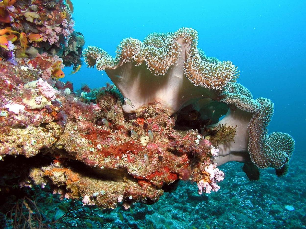 Una enfermedad en el Caribe está matando corales a una velocidad récord