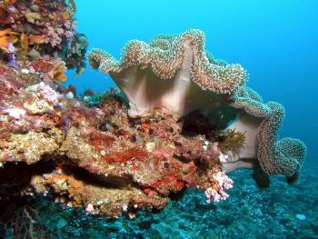 Enfermedad en el Caribe está matando corales a una velocidad récord
