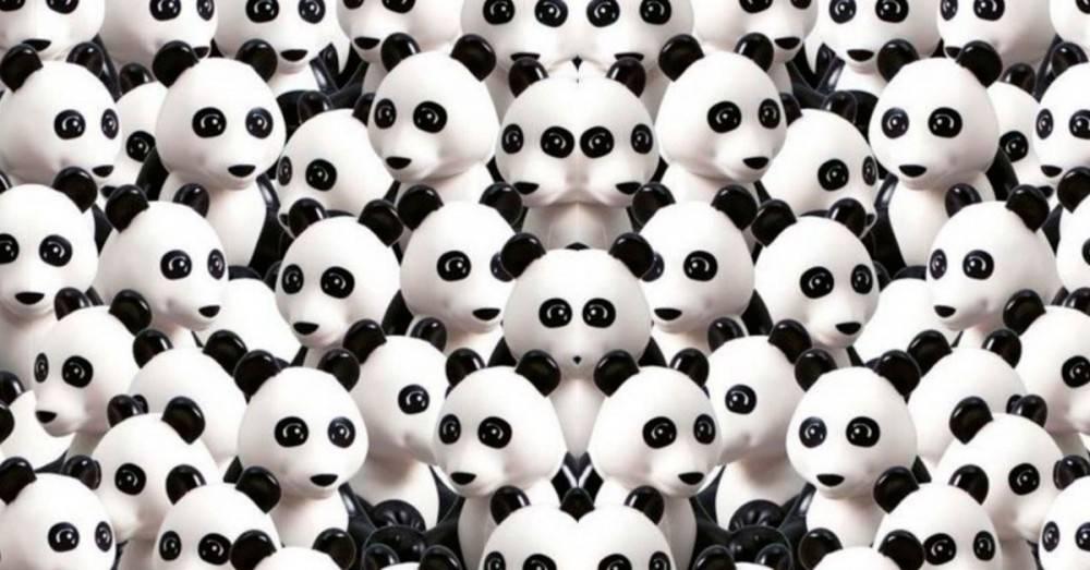 Entre estos pandas, hay un perro escondido. ¿Puedes verlo?