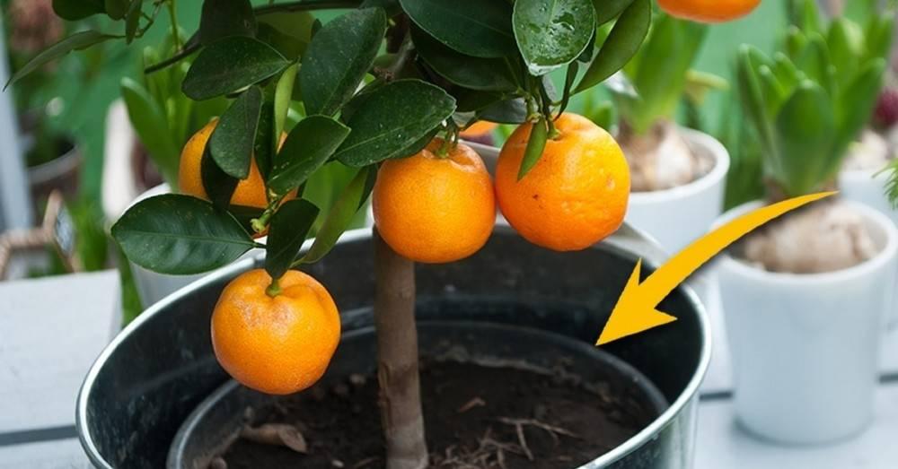 6 Frutales que podemos germinar en nuestra cocina desde semilla