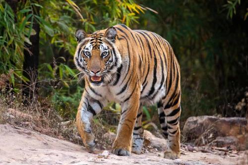 Tigre suelto en Texas: la dueña del santuario animal ofrece 5 mil dólares de rec