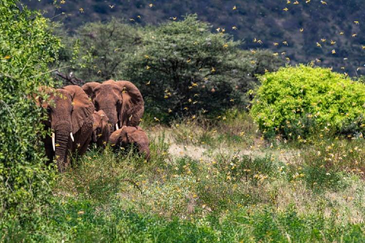 africa langostas