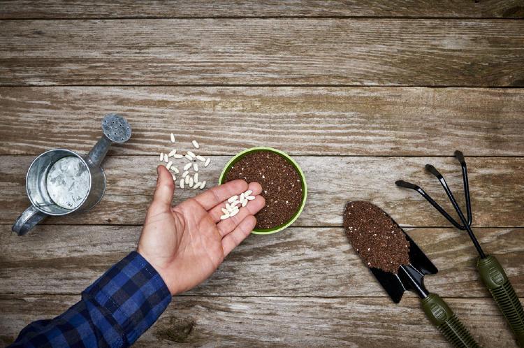 Mano de un hombre con frijoles colocandolos dentro de una maseta, que esta puesta sobre una mesa de madera, con un recipiente de metal para regar las plantas, una pala pequeña con tierra y un rastrillo
