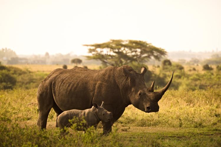 En Sudáfrica intentan salvar a los rinocerontes utilizando radiactividad