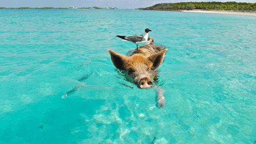 Descubre Pig Beach, la idílica playa de los cerdos nadadores