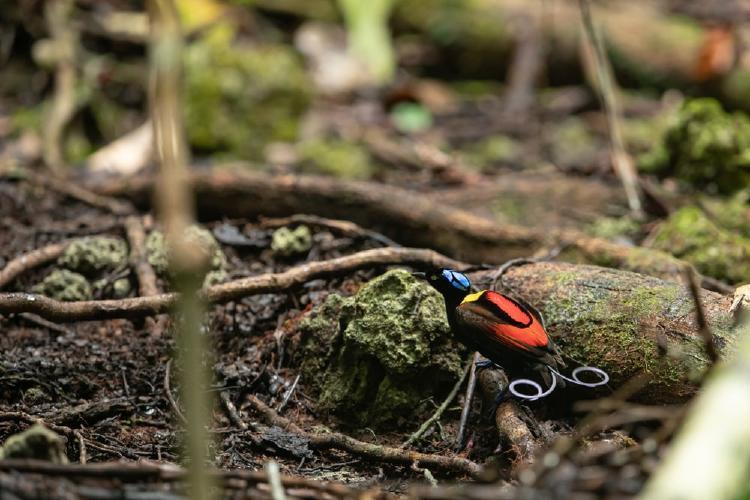 Ave de Wilson reposando en el suelo del bosque-min