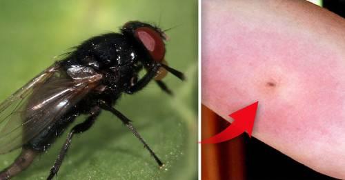 ¿Qué es la mosca negra y por qué se expande? ¿Cómo evitar su picadura?
