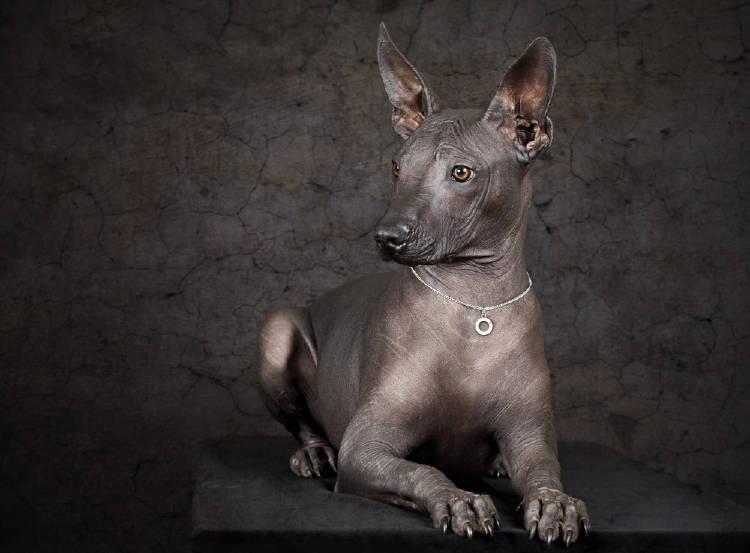 perro azteca