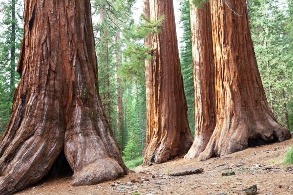 Travel-to-Giant-Redwoods-in-sequoia-national-park-in-USA-1600x1071