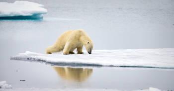 oso polar camina por el hielo