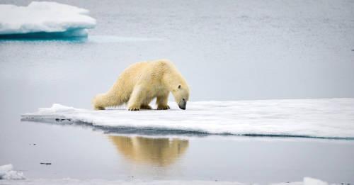 Un oso polar apareció buscando comida en una ciudad rusa: así lo explican los expertos